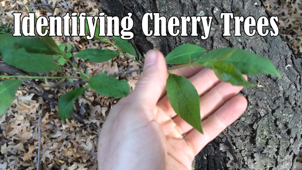 Identifying Wild Black Cherry Trees